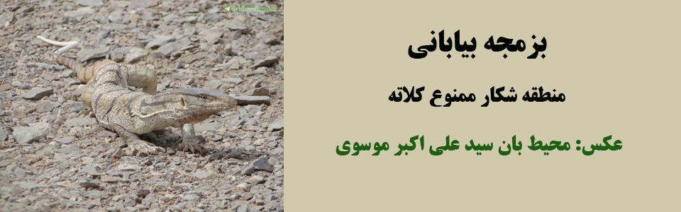 بزمجه بیابانی- منطقه شکار ممنوع کلاته/ عکس: محیط بان سید علی اکبر موسوی