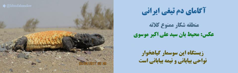 آگامای دم تیغی ایرانی-منطقه شکار ممنوع کلاته/عکس: سید علی اکبر موسوی