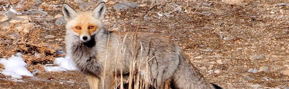 روباه معمولی- زیستگاه های طبیعی استان اصفهان- عکس از خداداد استوار