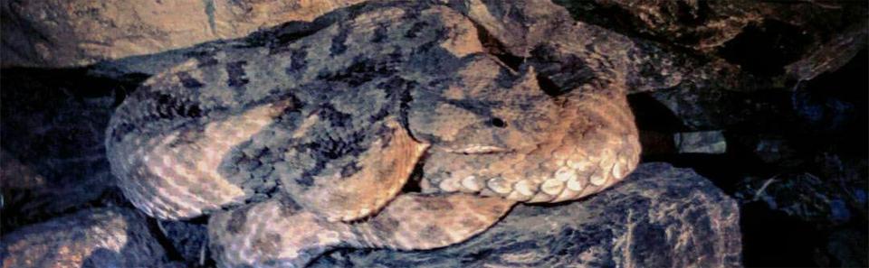 مار شاخدار- کوه صفه اصفهان/ عکس: رامبد ربیعی