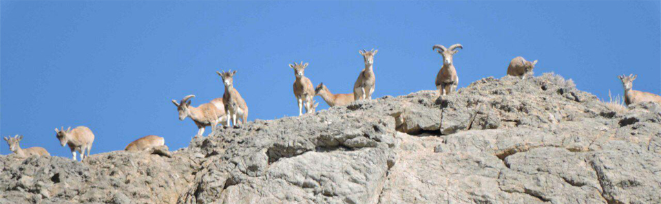 قوچ و میش- پارک ملی و پناهگاه حیات وحش قمیشلو/ عکس: رضا نامدار
