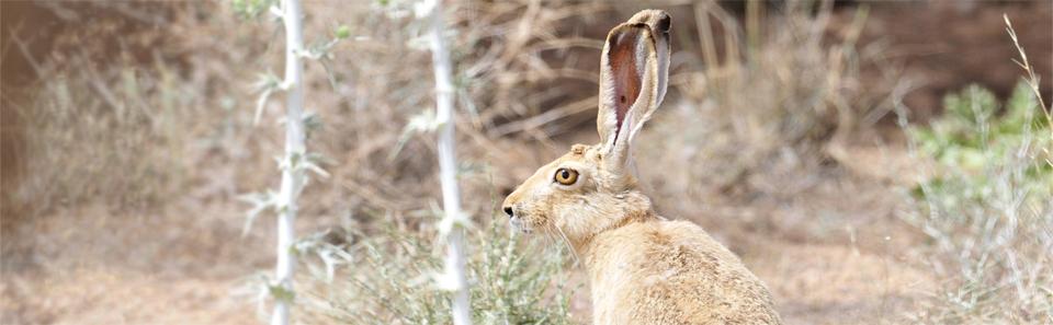 خرگوش- زیستگاه های طبیعی استان اصفهان- عکس از خداداد استوار