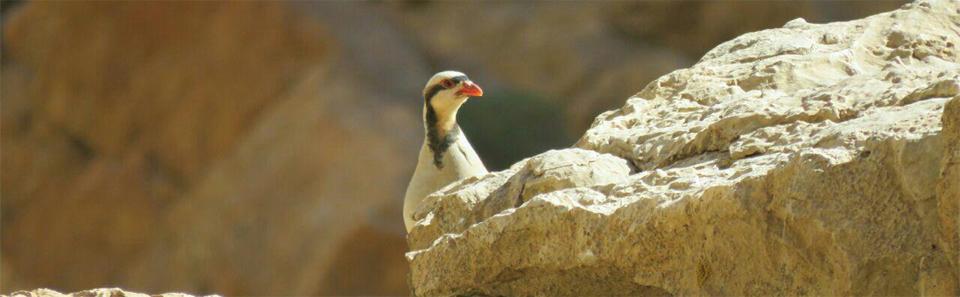 کبک- پارک ملی و پناهگاه حیات وحش کلاه قاضی/ عکس: محمدرضا صادقی