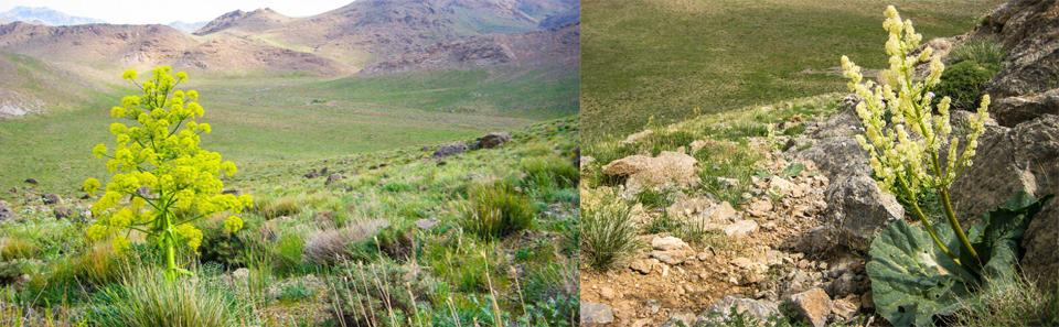 ریواس و آنغوزه- منطقه شکار ممنوع دشتک/ عکس: حمیدرضا خواجه