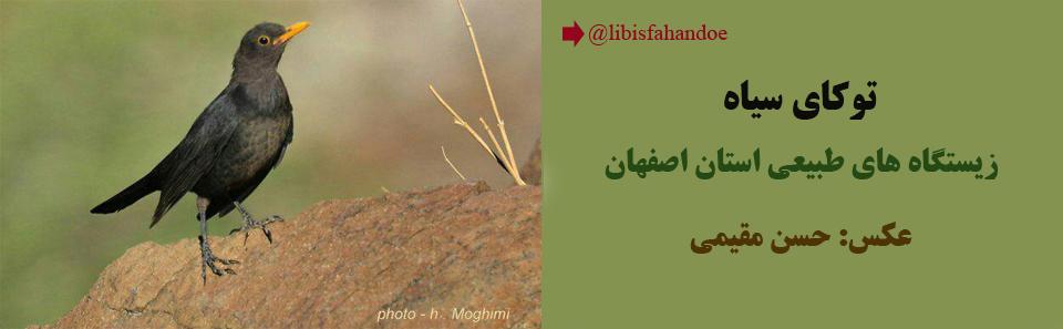 توکای سیاه - زیستگاه های طبیعی استان اصفهان/ عکس: حسن مقیمی