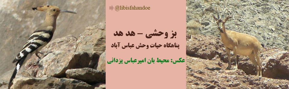 بز وحشی و هد هد- پناهگاه حیات وحش عباس آباد/ عکس: محیط بان امیر عباس یزدانی