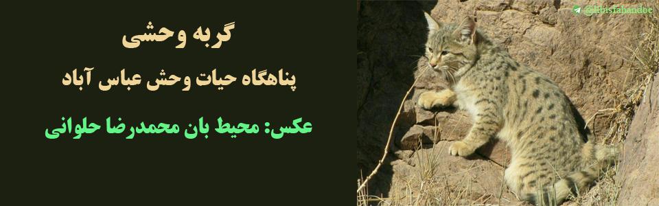 گربه وحشی- پناهگاه حیات وحش عباس آباد/ عکس: محیط بان محمدرضا حلوانی