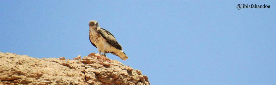 عقاب مارخور- پناهگاه حيات وحش عباس آباد/عكس: حسين اكبري