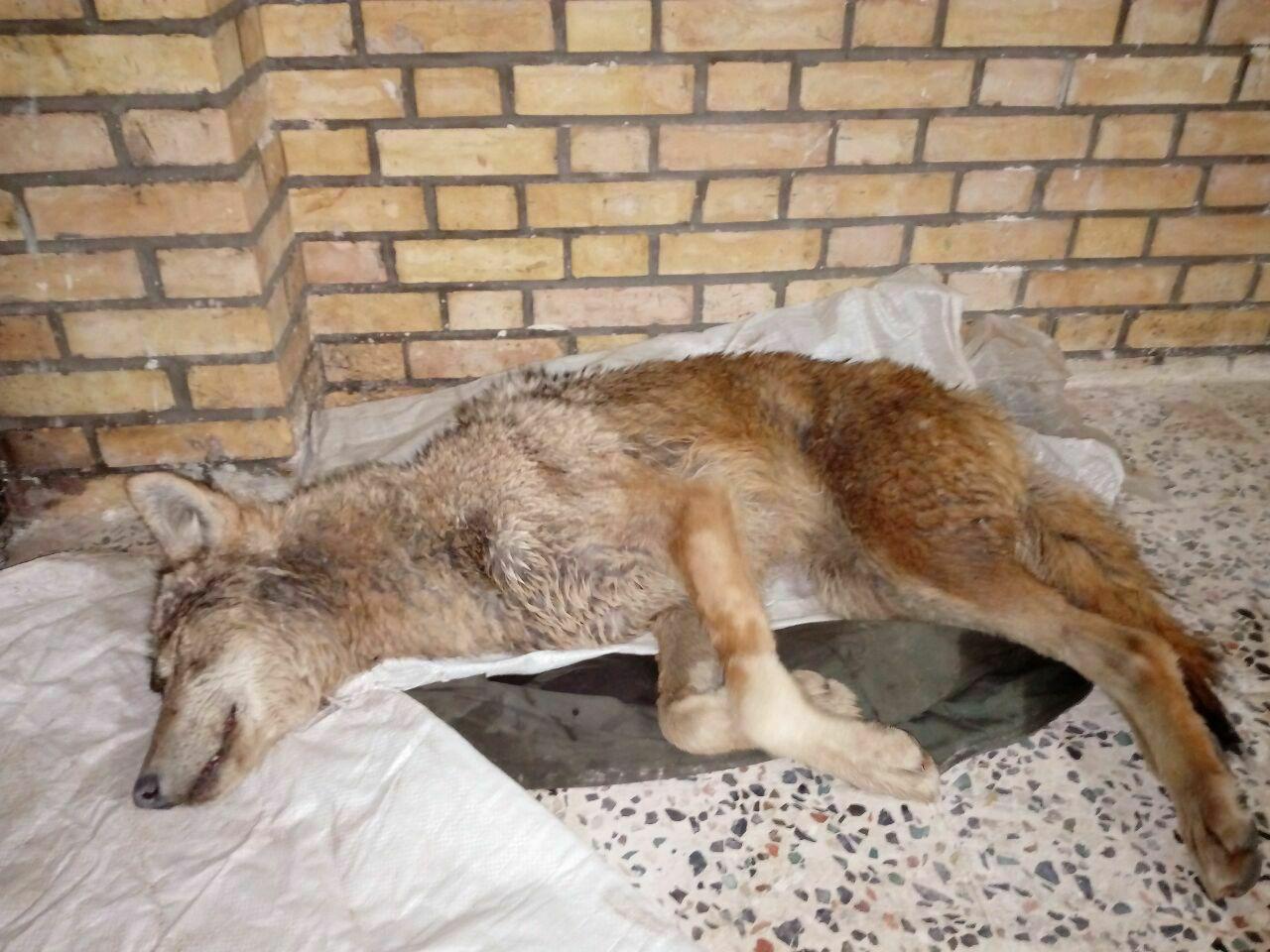 نجات يك گرگ سقوط كرده در استخر ذخيره آب در سميرم