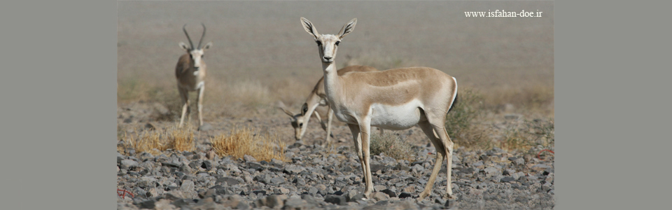 Goitered Gazelle-Kolahghazi National Park